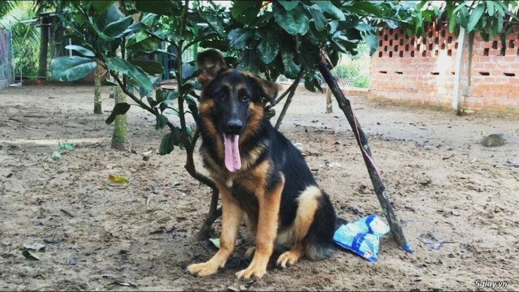 Chó Becgie Đức Thuần Chủng -  Tại Đồng Tháp - 16