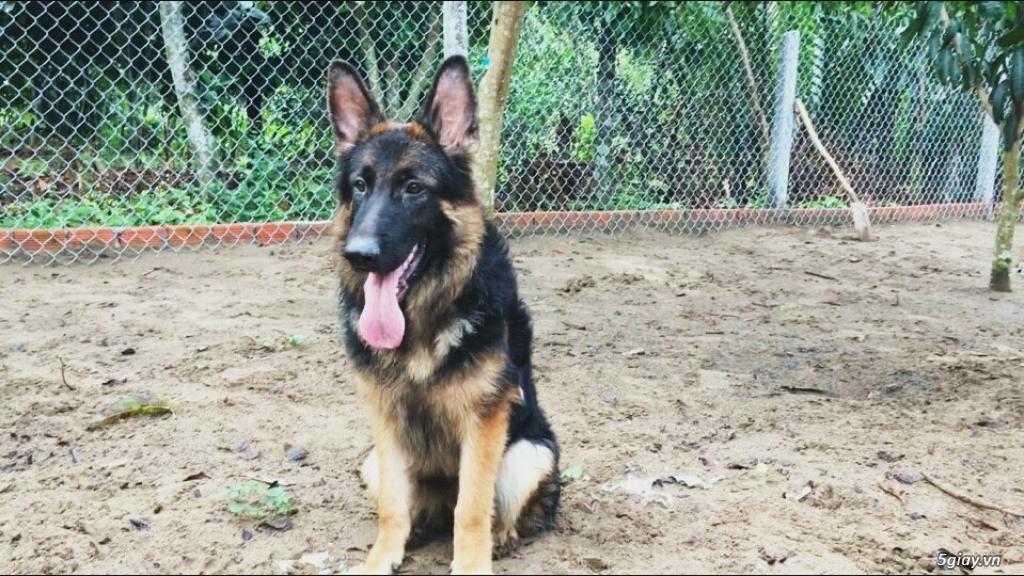 Chó Becgie Đức Thuần Chủng -  Tại Đồng Tháp - 18