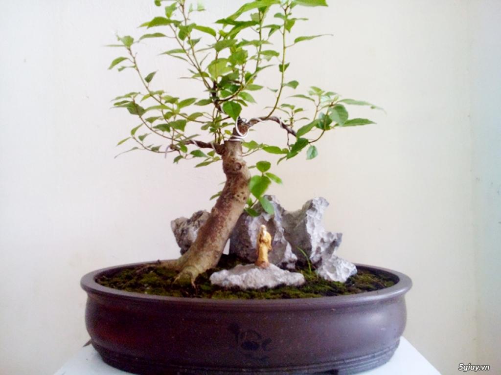 Cây Sung Bonsai - 3