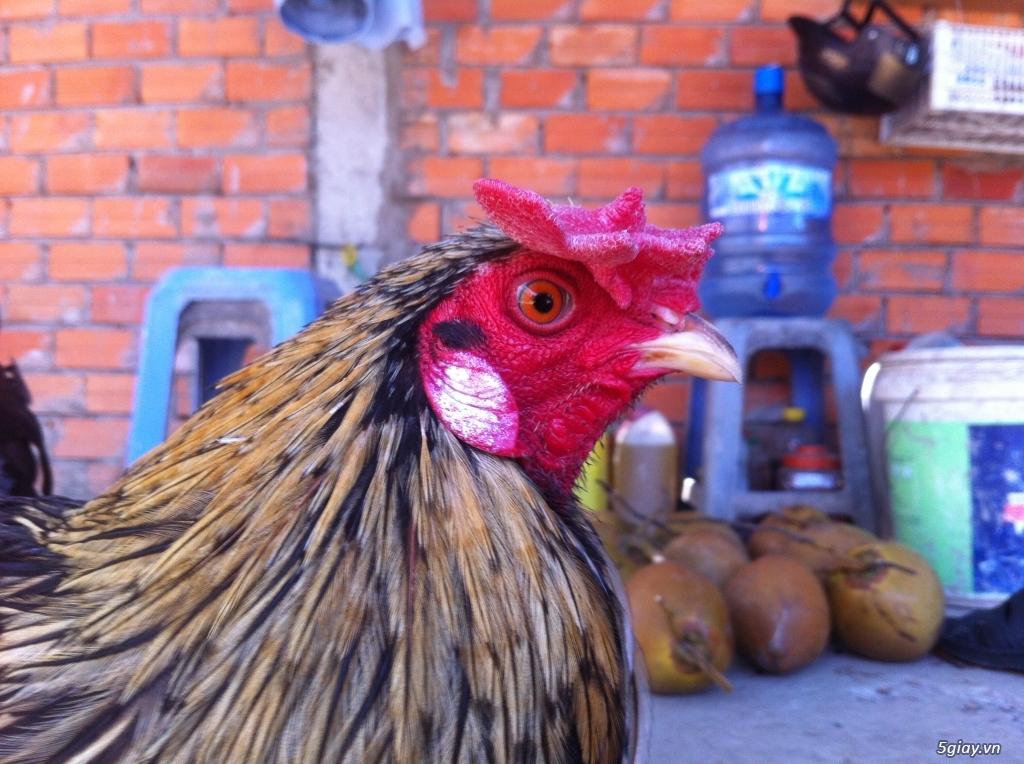 Vĩnh long gà nòi gà tre có clip xổ - 14