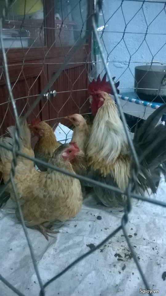 Cần bán cặp gà tre thái bố mẹ và đàn gà con 5 tháng tuổi - 5
