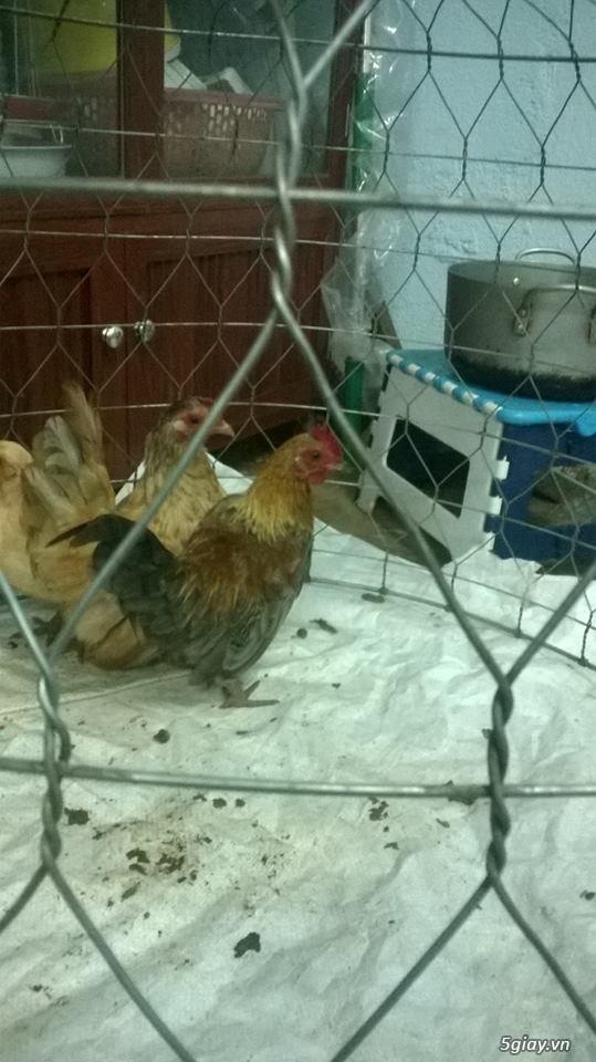 Cần bán cặp gà tre thái bố mẹ và đàn gà con 5 tháng tuổi - 1