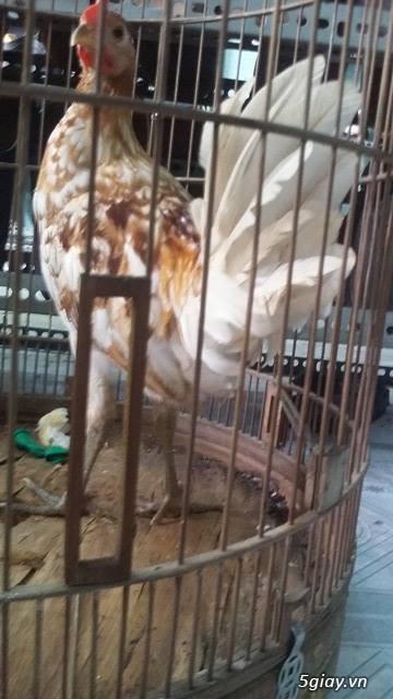 (HCM-Tân Bình)-->gà Tre mỹ rặc bướm chân xanh 4,5th - 11