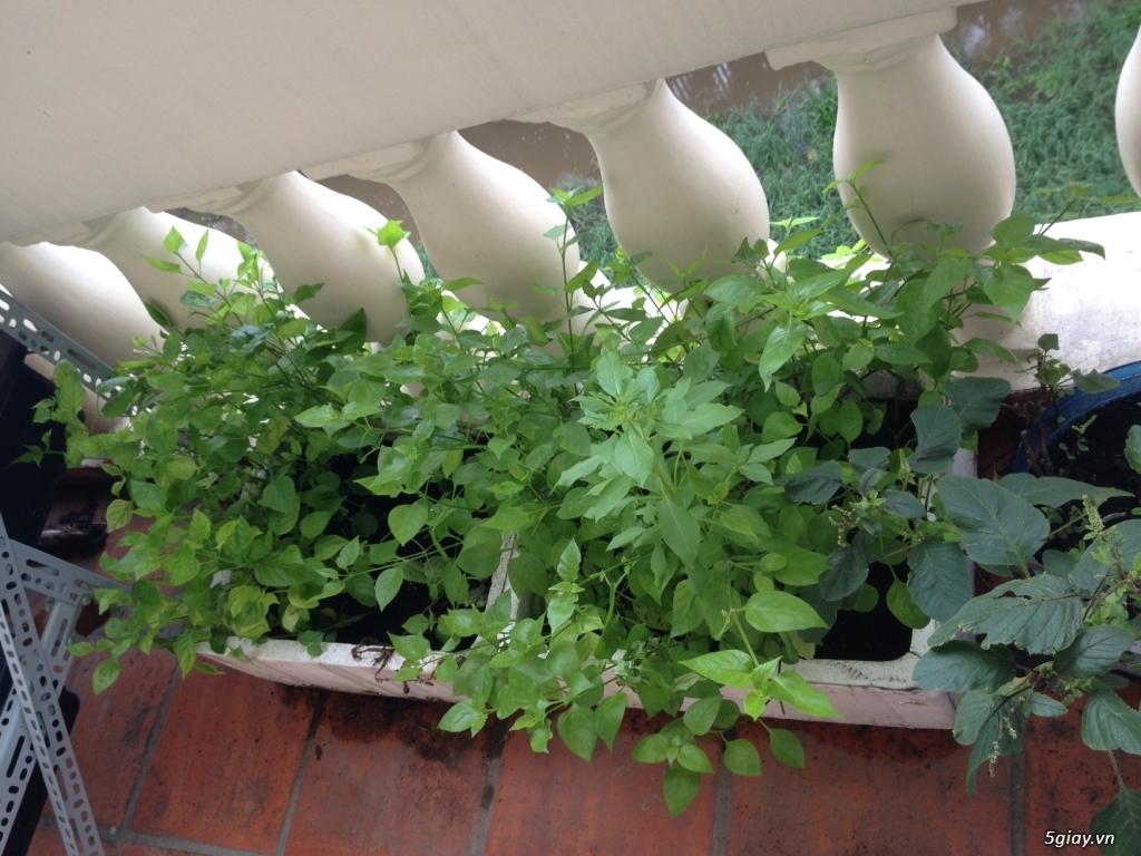 Thanh Lý chậu, giá trồng rau + vườn rau sạch - 5