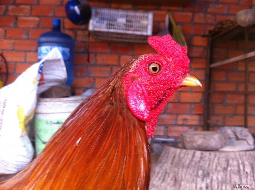 Vĩnh long gà nòi gà tre có clip xổ - 2