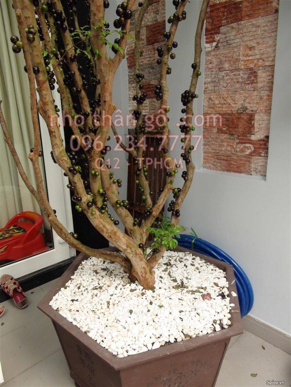 Nho thân gỗ - Từ Brazil - Sung túc thịnh vượng - 6