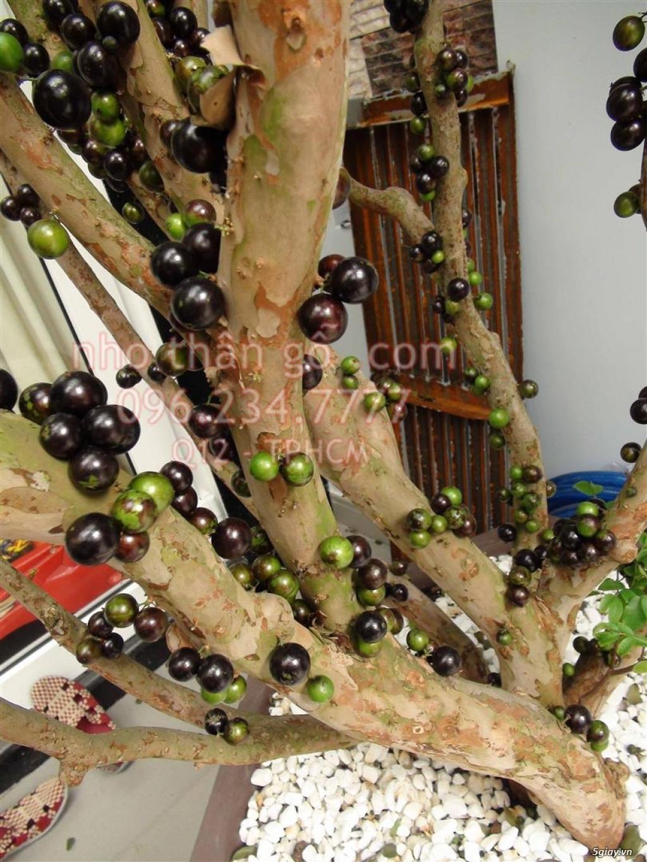 Nho thân gỗ - Từ Brazil - Sung túc thịnh vượng - 4