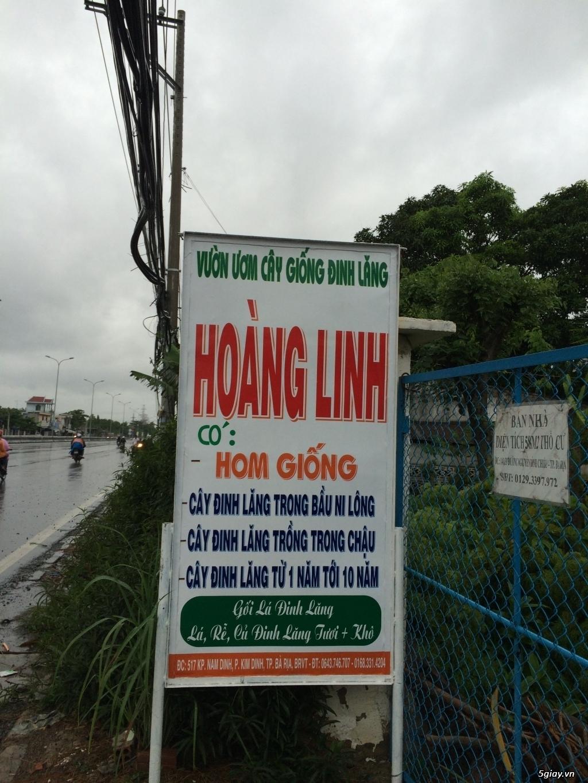 Bán Cây + Rễ Đinh Lăng - Vườn Đinh Lăng Hoàng Linh BR-VT - 2