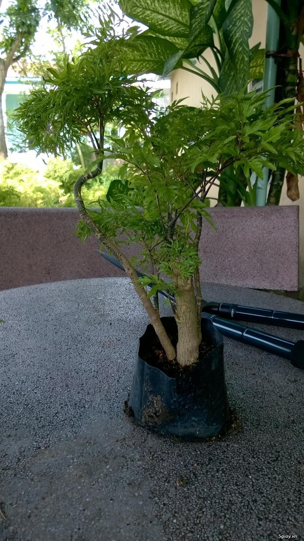 Bán Cây + Rễ Đinh Lăng - Vườn Đinh Lăng Hoàng Linh BR-VT - 4