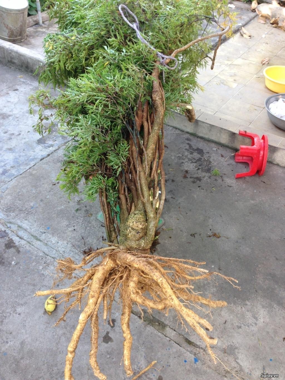 Bán Cây + Rễ Đinh Lăng - Vườn Đinh Lăng Hoàng Linh BR-VT