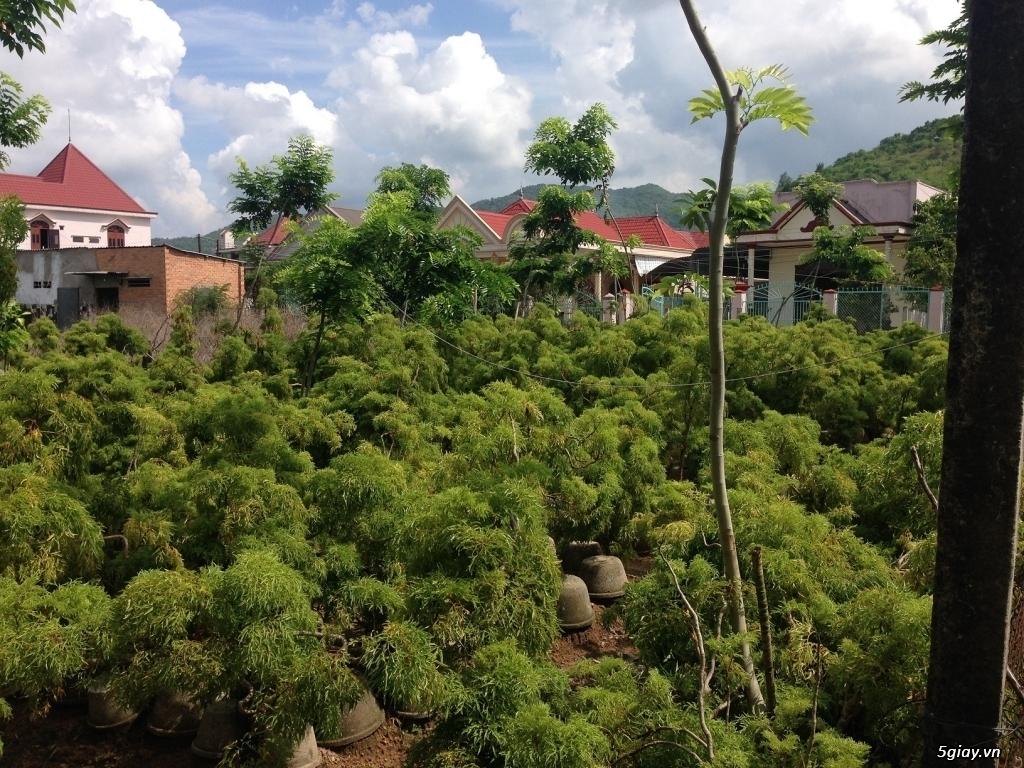 Bán Cây + Rễ Đinh Lăng - Vườn Đinh Lăng Hoàng Linh BR-VT - 1