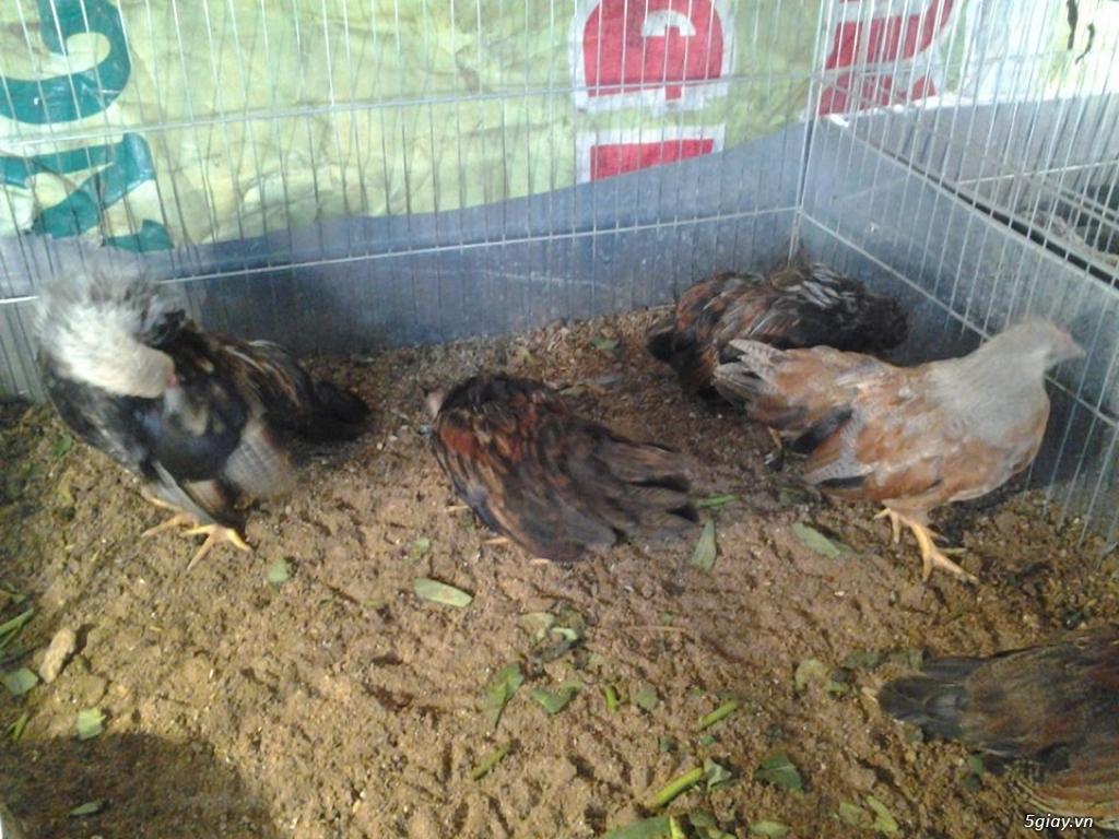 Bán gà tân chau 2-3 tháng tuổi - 3