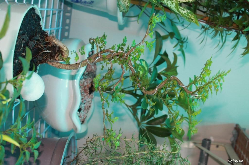 cần bán mấy cây cần thăng nhỏ cho người mới chơi bonsai - 1