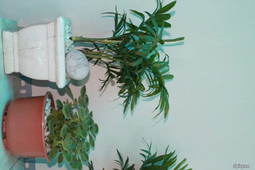 cần bán mấy cây cần thăng nhỏ cho người mới chơi bonsai - 3