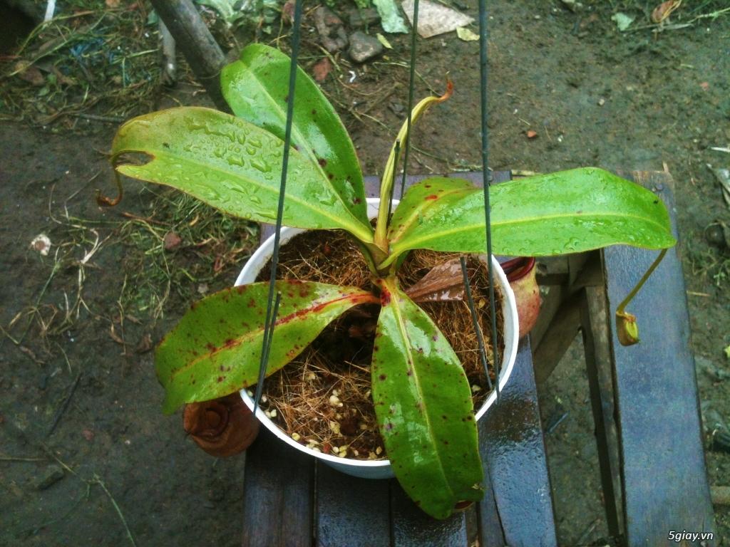 Cây bắt mồi - cây ăn thịt - cây bẫy kẹp - cây nắp ấm - 3