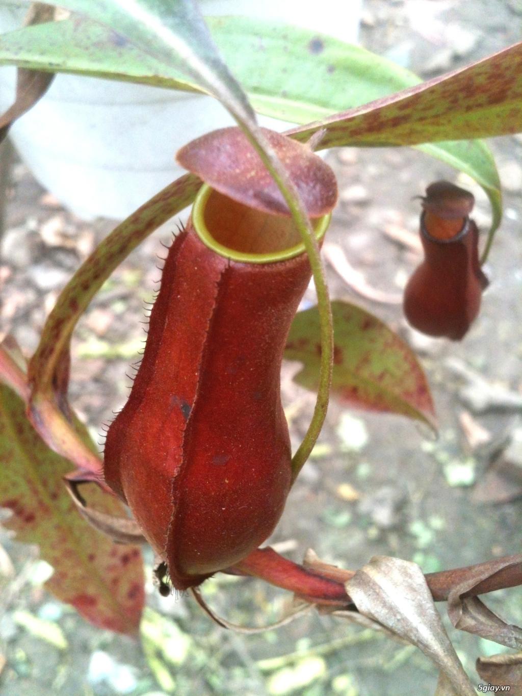 Cây bắt mồi - cây ăn thịt - cây bẫy kẹp - cây nắp ấm - 2
