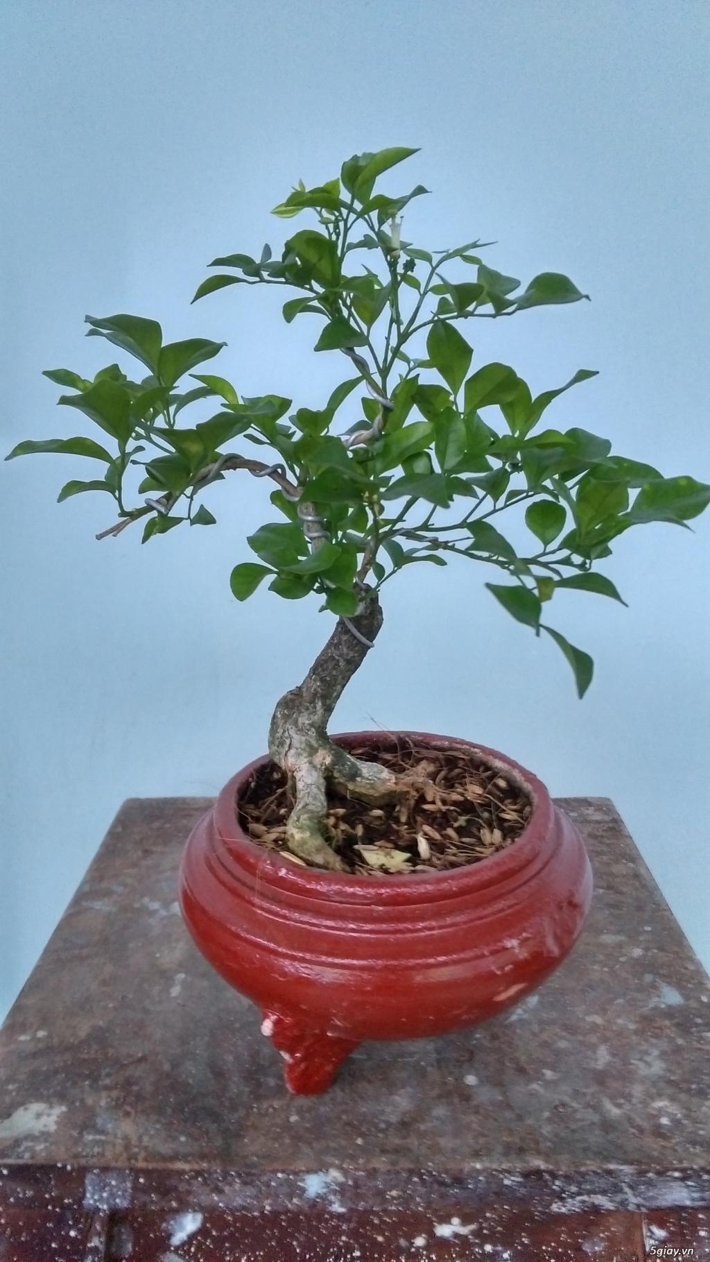 Bonsai Mini Gia Rẻ Tp Hồ Chi Minh Five Vn