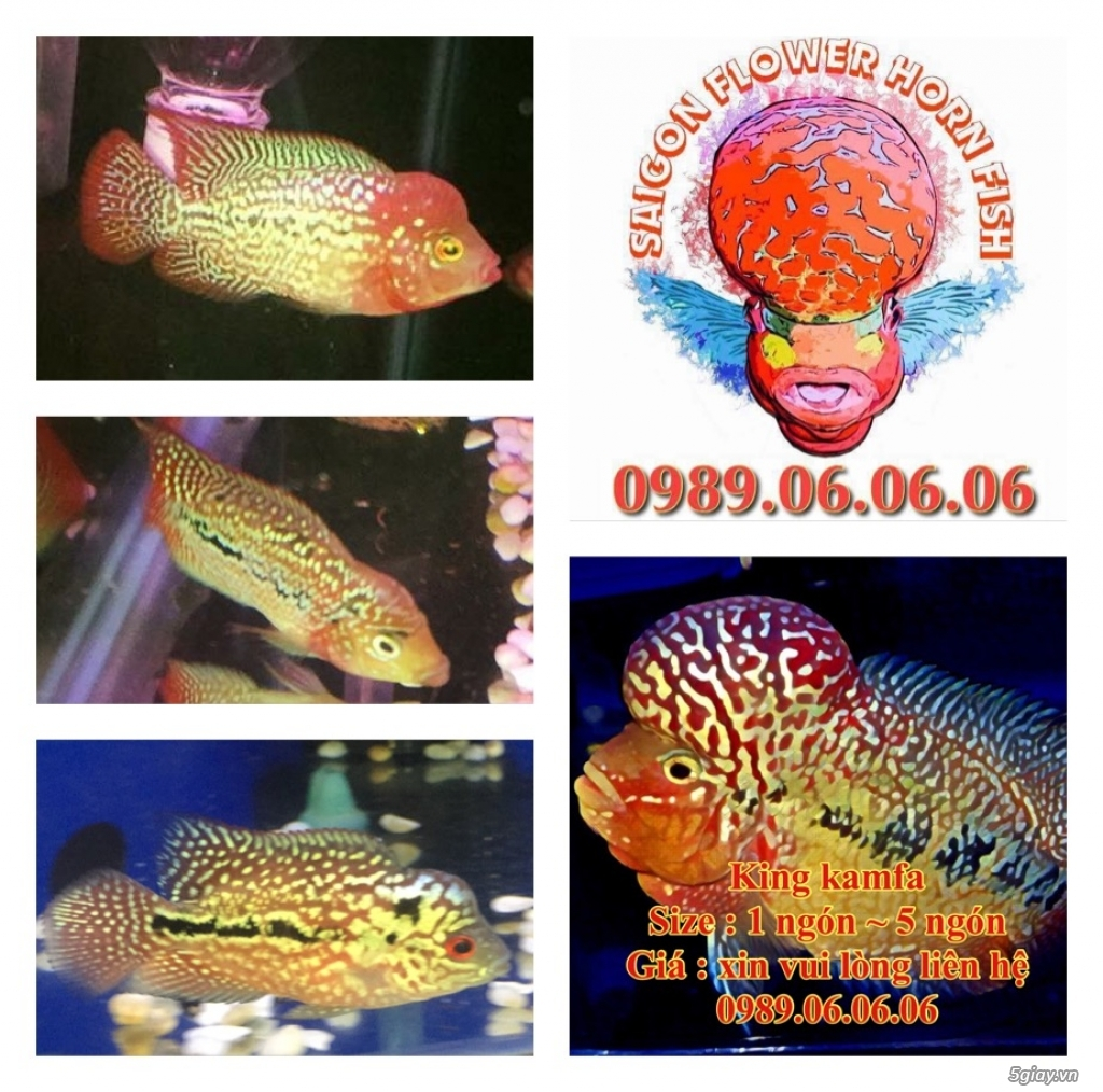 Cá La Hán: Thái Đỏ,King KamFa, King Việt, King Lai, Kim Cương, RedTexas - 8