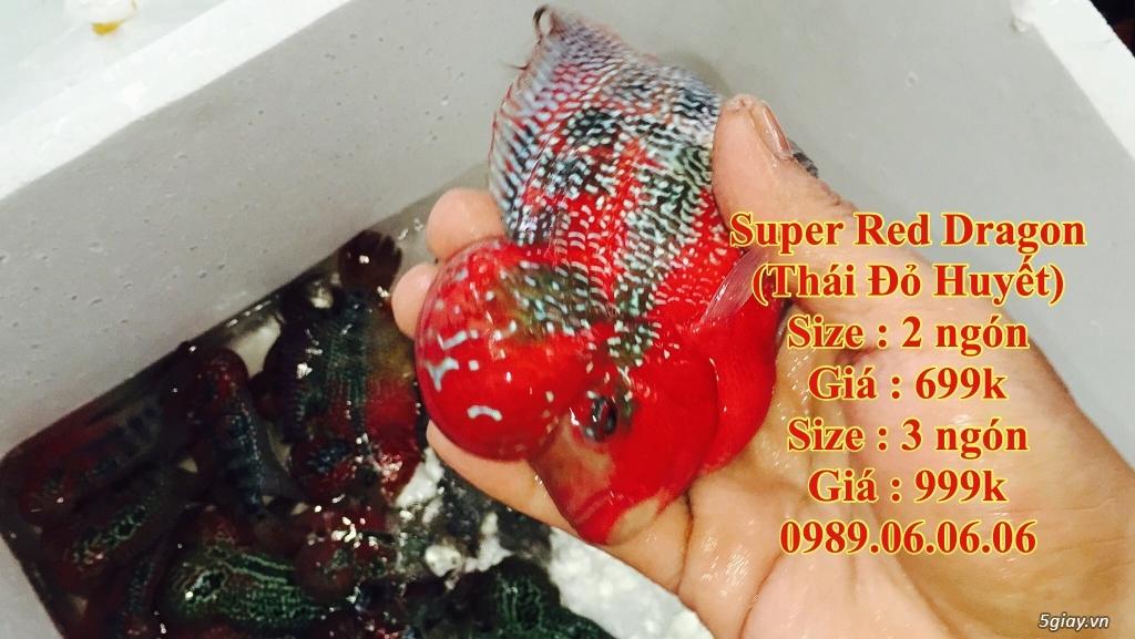 Cá La Hán: Thái Đỏ,King KamFa, King Việt, King Lai, Kim Cương, RedTexas - 19