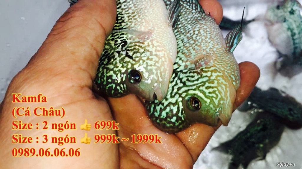 Cá La Hán: Thái Đỏ,King KamFa, King Việt, King Lai, Kim Cương, RedTexas - 9
