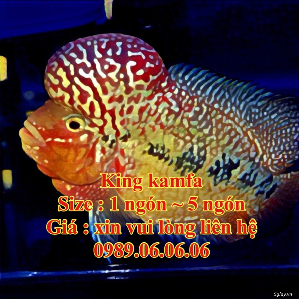 Cá La Hán: Thái Đỏ,King KamFa, King Việt, King Lai, Kim Cương, RedTexas - 24