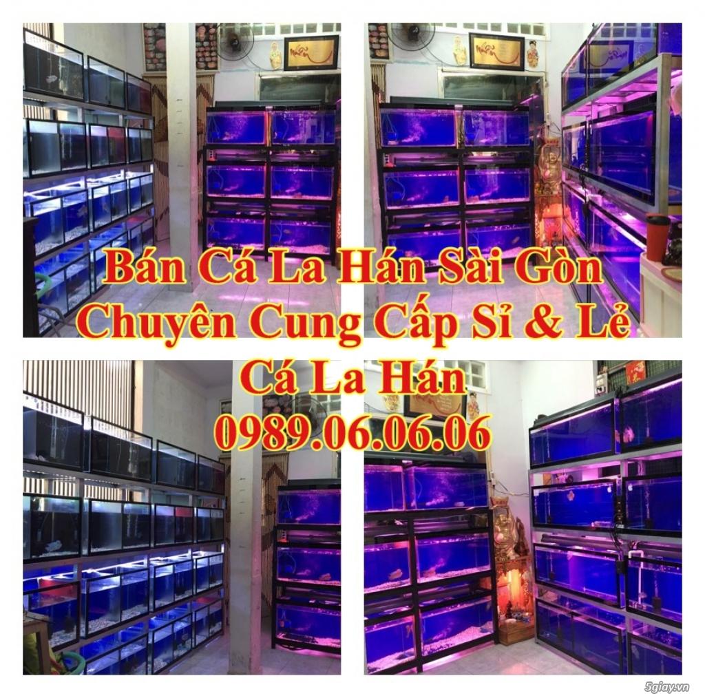 Cá La Hán: Thái Đỏ,King KamFa, King Việt, King Lai, Kim Cương, RedTexas - 14