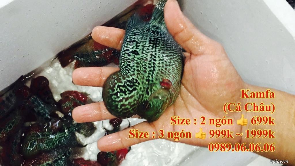 Cá La Hán: Thái Đỏ,King KamFa, King Việt, King Lai, Kim Cương, RedTexas - 25