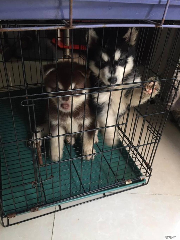 Chuyên bán và nhận oder các giống chó husky,alaska,samoyed..update thường xuyên !!! - 8