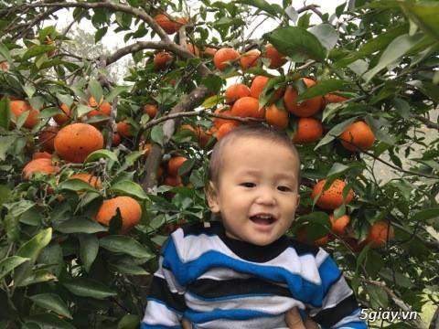Cam Khe Mây Hương Khe Hà Tĩnh(cam siêu sạch) - 3