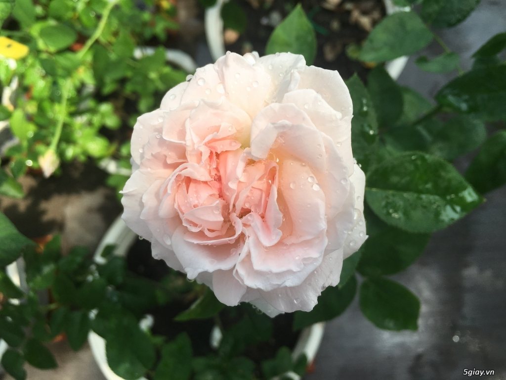 Thanh lí hoa hồng ngoại quận 9 -Sài Gòn