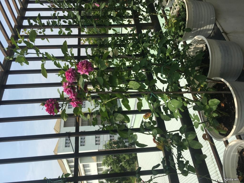 Thanh lí hoa hồng ngoại quận 9 -Sài Gòn - 13
