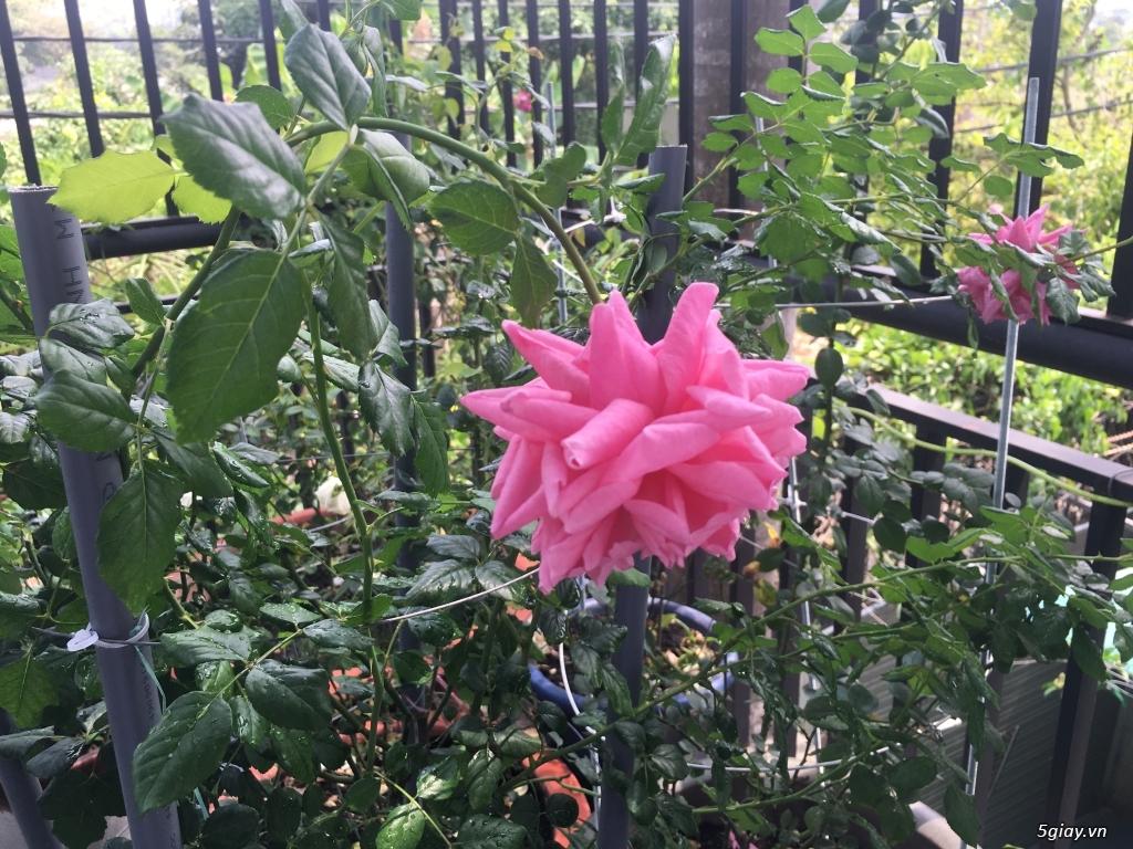 Thanh lí hoa hồng ngoại quận 9 -Sài Gòn - 1