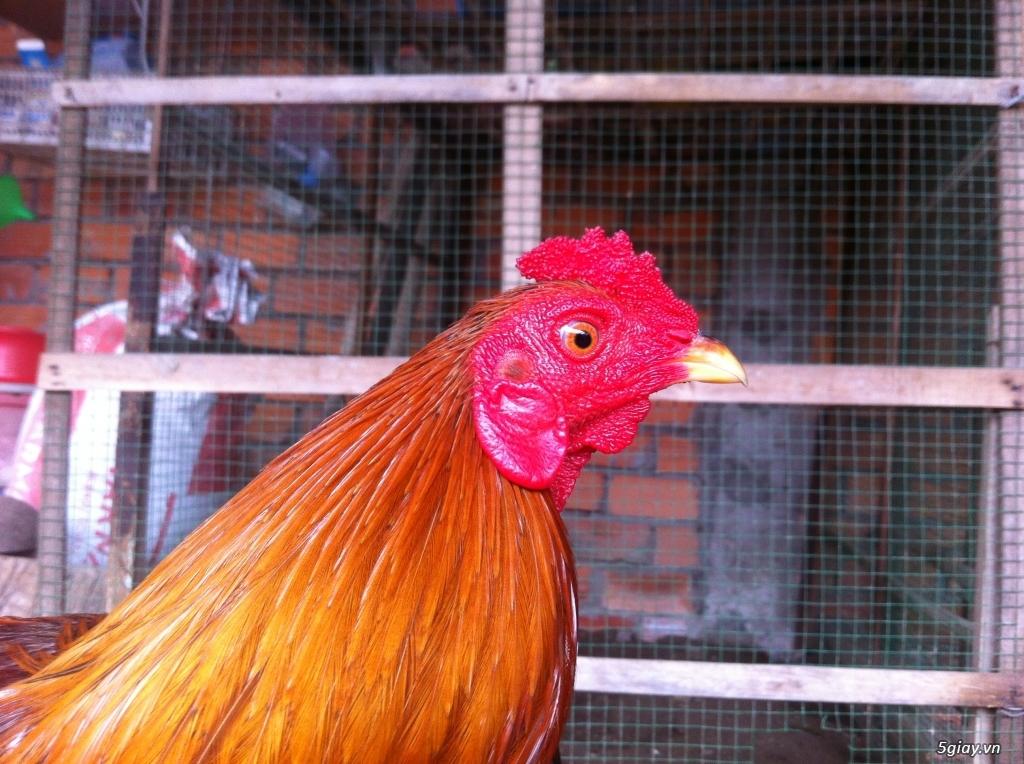 Vĩnh long gà nòi gà tre có clip xổ - 6