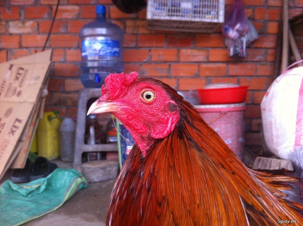 Vĩnh long gà nòi gà tre có clip xổ - 24