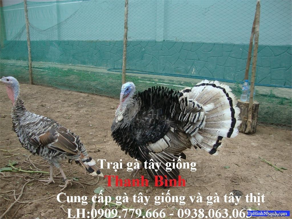 Trại gà tây(gà lôi) giống Thanh Bình.Chuyên cung cấp con giống LH:0909.779.666 - 2