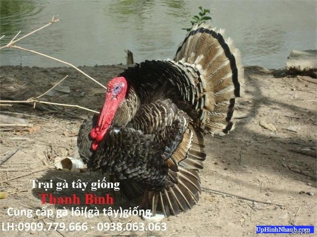 Trại gà tây(gà lôi) giống Thanh Bình.Chuyên cung cấp con giống LH:0909.779.666