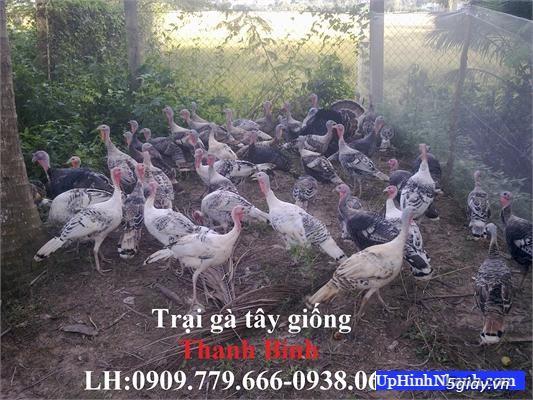 Trại gà tây(gà lôi) giống Thanh Bình.Chuyên cung cấp con giống LH:0909.779.666 - 6