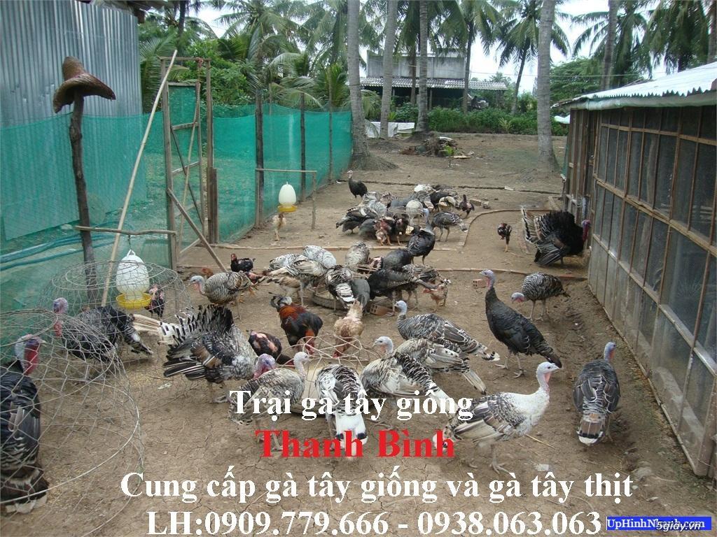 Trại gà tây(gà lôi) giống Thanh Bình.Chuyên cung cấp con giống LH:0909.779.666 - 5