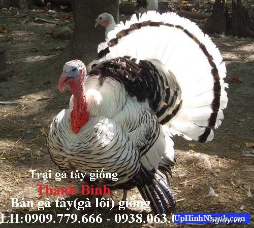 Trại gà tây(gà lôi) giống Thanh Bình.Chuyên cung cấp con giống LH:0909.779.666 - 1
