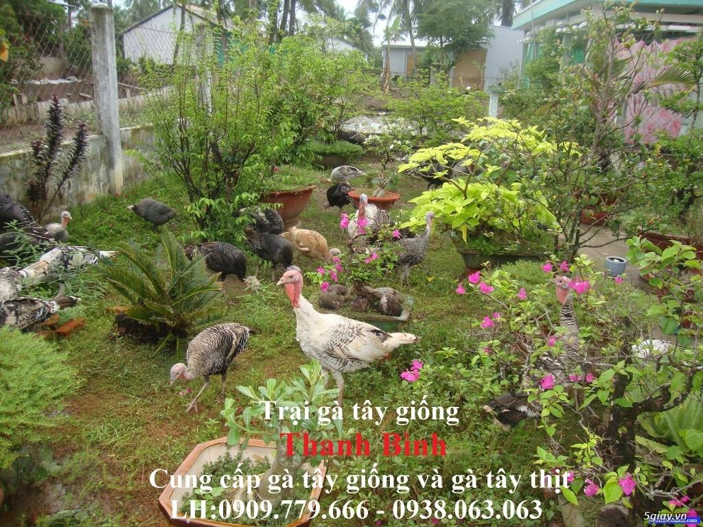 Trại gà tây(gà lôi) giống Thanh Bình.Chuyên cung cấp con giống LH:0909.779.666 - 4
