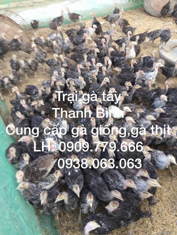 Trại gà tây(gà lôi) giống Thanh Bình.Chuyên cung cấp con giống LH:0909.779.666 - 19