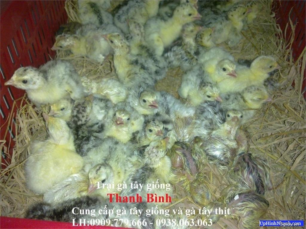 Gà tây (gà lôi) giống nuôi kiểng hoặc nuôi thịt (có hình và clip) - 11