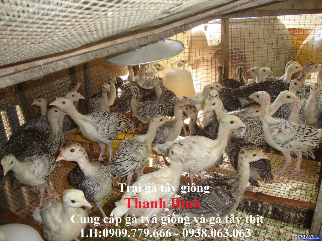 Gà tây (gà lôi) giống nuôi kiểng hoặc nuôi thịt (có hình và clip) - 13