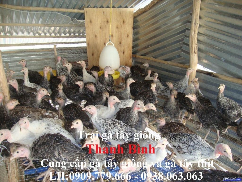 Trại gà tây(gà lôi) giống Thanh Bình.Chuyên cung cấp con giống LH:0909.779.666 - 15