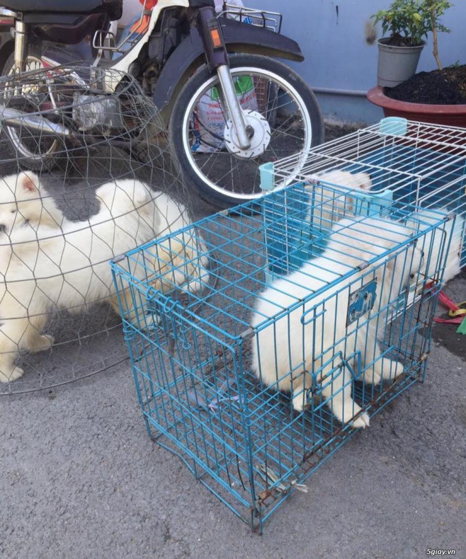 Chuyên bán và nhận oder các giống chó husky,alaska,samoyed..update thường xuyên !!! - 7