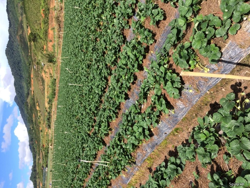 Dâu tây và các loại rau Đà Lạt - 3