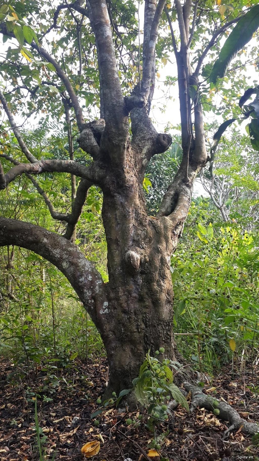 Bán cây khế cổ thụ 100 tuổi dáng đẹp - 1