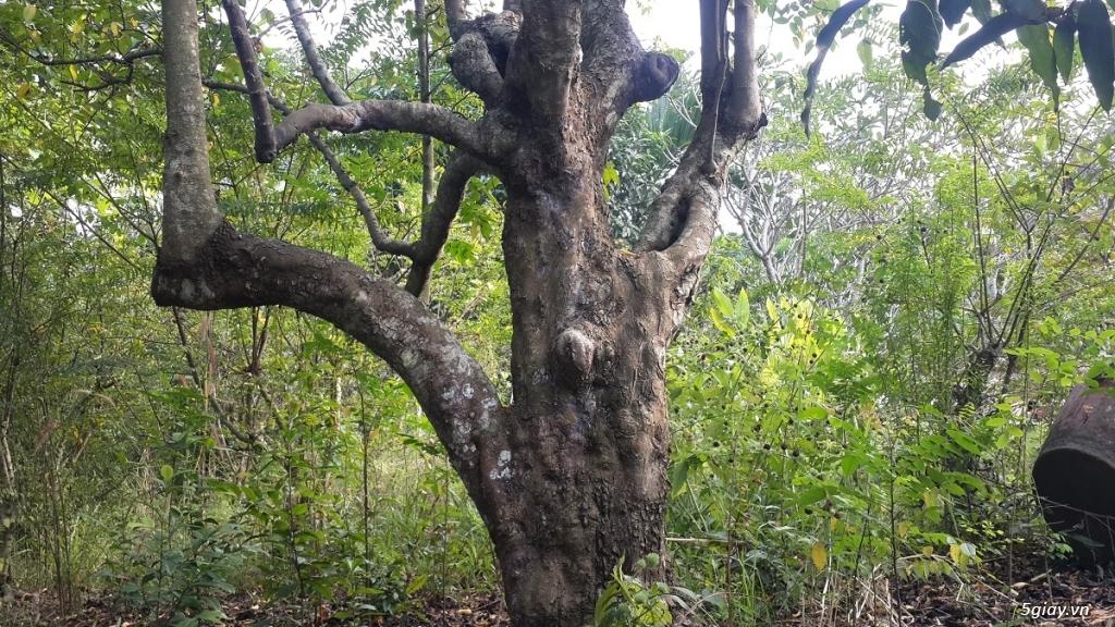 Bán cây khế cổ thụ 100 tuổi dáng đẹp