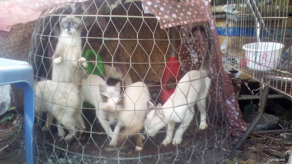 Mèo Xiêm - 3