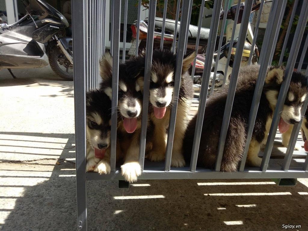 Xuất chuồng bầy chó Alaska con thuần chủng - 3